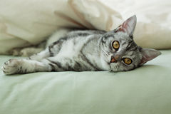 Young grey tabby cat resting on bed. Young grey tabby cat resting underneath a quilt on a bed Stock Image