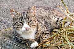 Young grey tabby cat with white neck and paw lying outside on wo Stock Image