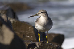 Young grey-tailed tattler which stands on a rock by Royalty Free Stock Image