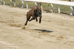Young greyhound running on a ttraining full speed. Sprinting dynamic greyhound on the race course royalty free stock photography