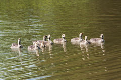Young Greylag goslings swimming Stock Photography