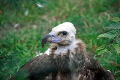 Young Griffon Vulture Portrait Royalty Free Stock Images