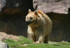 Young Grizzly Bear. In his habitat.  Mexico City, Mexico Royalty Free Stock Images