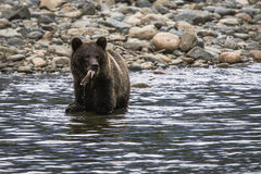 Young Grizzly Bear Royalty Free Stock Image
