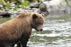 Young grizzly bear in its fishing spot Royalty Free Stock Photo
