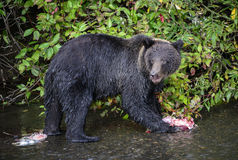 Young Grizzly bear with salmon remains. Close-up of a young grizzly bear eating sockeye salmon remains during the summer salmon run.  British Columbia, Canada Stock Photography