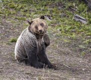Young grizzly bear scratching in seated position Stock Images