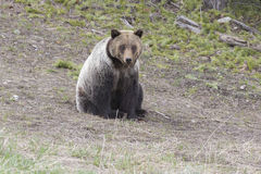 Young grizzly bear sitting on grass Stock Photography