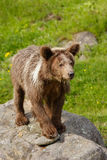 Young Grizzly bear (Ursus arctos) Stock Photo