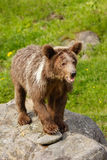 Young Grizzly bear (Ursus arctos) Stock Image