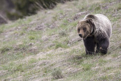 Young grizzly bear walking in grass from forest Stock Photos