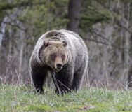 Young grizzly bear walking in grass from forest Royalty Free Stock Images