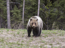 Young grizzly bear walking in grass from forest Royalty Free Stock Photography