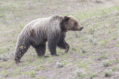 Young grizzly bear walking in grass from forest Royalty Free Stock Image