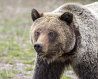 Young grizzly bear walking in grass from forest Stock Images