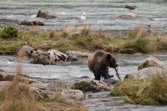 Young grizzly with salmon Royalty Free Stock Photography