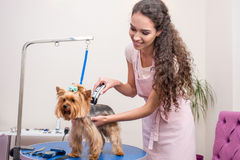 Young groomer in apron trimming cute furry dog in pet salon Stock Image