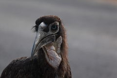 Young ground hornbill. Bird in south africa Royalty Free Stock Image