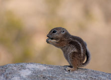 Young ground squirrel. Profile of a young male Golden-mantled Ground Squirrel as it eats a grape in the early evening Stock Photos