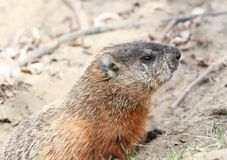 Young groundhog Royalty Free Stock Image