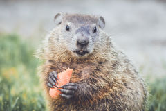 Young Groundhog Marmota Monax with carrot in hands. Young Groundhog Marmota Monax holding a half-eaten carrot in hands and mouth closed stock photography