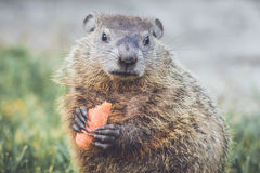 Young Groundhog Marmota Marmox with carrot Stock Images