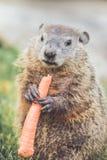 Young Groundhog Marmota Marmox standing Royalty Free Stock Photos