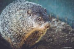 Young Groundhog Marmota Monax closeup in vintage setting. Portrait stock photo