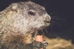 Young Groundhog, Marmota Monax,munches on a carrot in vintage setting. Young Groundhog, Marmota Monax, closeup in vintage setting, portrait stock images
