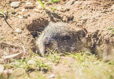 Young Groundhog Marmota Monax closeup in vintage setting. Portrait royalty free stock images