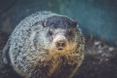 Young Groundhog Marmota Monax closeup in vintage setting. Portrait royalty free stock photography