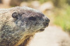 Young Groundhog Marmota Monax closeup in vintage setting. Portrait stock photography