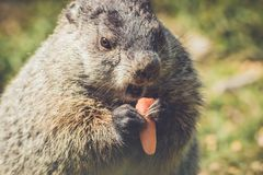 Young Groundhog, Marmota Monax,munches on a carrot in vintage setting. Young Groundhog, Marmota Monax, closeup in vintage setting, portrait royalty free stock photos