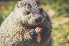 Young Groundhog, Marmota Monax,munches on a carrot in vintage setting. Young Groundhog, Marmota Monax, closeup in vintage setting, portrait stock photos