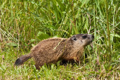 Young Groundhog Out Forging For Food. Small Young Groundhog Out Forging For Food stock images
