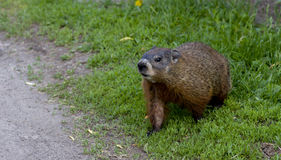A young groundhog pup Royalty Free Stock Images
