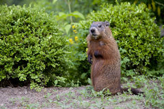 A young groundhog pup. Also known as a Woodchuck stock image