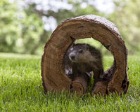Young Groundhog. Young woodchuck or groundhog peeks out from a hollowed log. Springtime in Wisconsin stock photography
