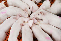 Young group piglet feeding Royalty Free Stock Image