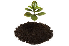 Young growing little tree with chunk of earth. Isolated on white background stock images