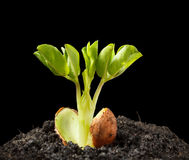 Young growing peanut plant Royalty Free Stock Images