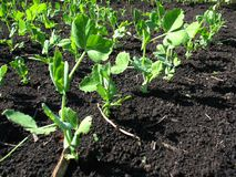 Young growth of pea Royalty Free Stock Photography