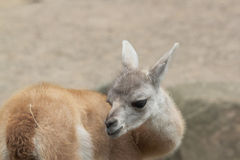 Young guanaco Stock Images