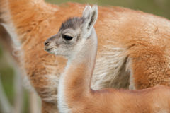 Young Guanaco Royalty Free Stock Images