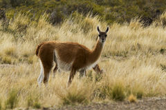 Young Guanaco in the patagnia Royalty Free Stock Image