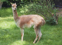 Young guanaco Stock Photo