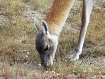 Young Guanaco in Torres del Paine National Park, Chile royalty free stock photo