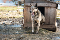 Young guard sentry dog sits on a chain in a kennel Royalty Free Stock Photography