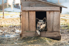 Young guard sentry dog sits on a chain in a kennel Stock Photos