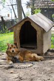 Young guard sentry dog sits on a chain near his dog house Royalty Free Stock Image